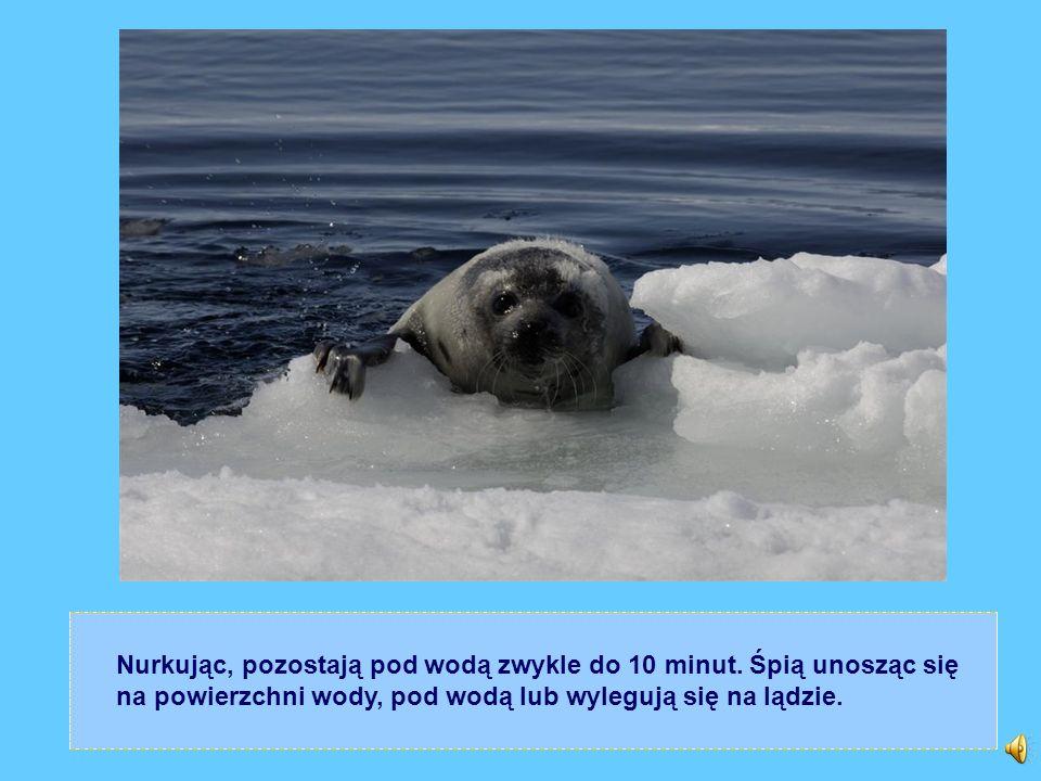 Nurkując, pozostają pod wodą zwykle do 10 minut. Śpią unosząc się