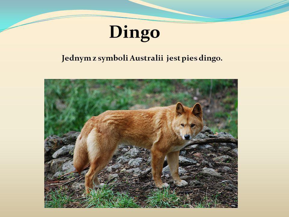 Jednym z symboli Australii jest pies dingo.