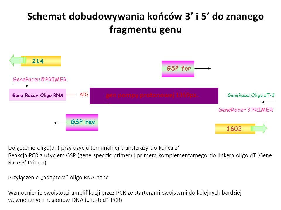 Schemat dobudowywania końców 3' i 5' do znanego fragmentu genu