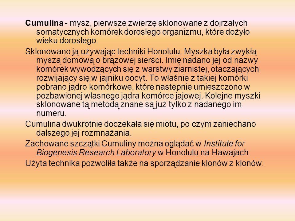Cumulina - mysz, pierwsze zwierzę sklonowane z dojrzałych somatycznych komórek dorosłego organizmu, które dożyło wieku dorosłego.