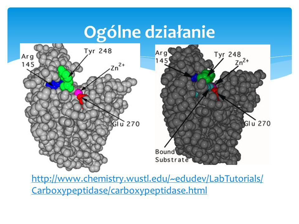 Ogólne działanie http://www.chemistry.wustl.edu/~edudev/LabTutorials/Carboxypeptidase/carboxypeptidase.html.
