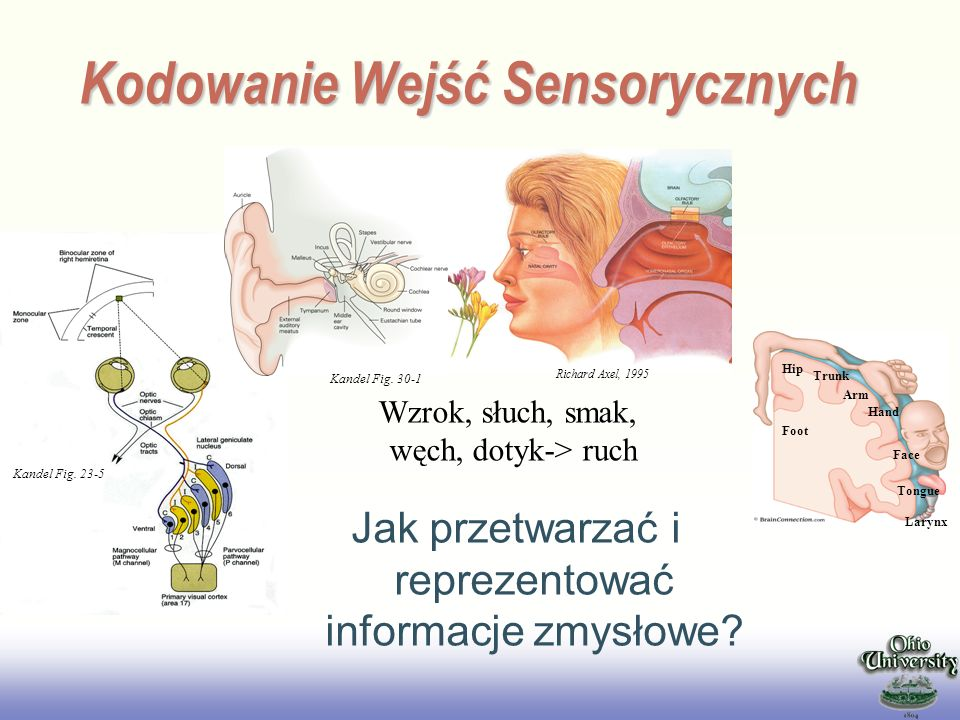 Kodowanie Wejść Sensorycznych