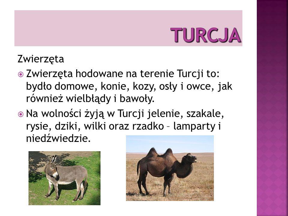 TURCJA Zwierzęta. Zwierzęta hodowane na terenie Turcji to: bydło domowe, konie, kozy, osły i owce, jak również wielbłądy i bawoły.