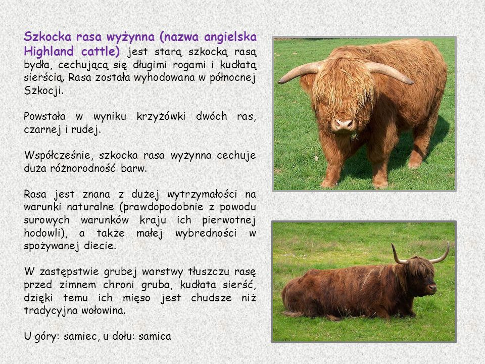 Szkocka rasa wyżynna (nazwa angielska Highland cattle) jest starą szkocką rasą bydła, cechującą się długimi rogami i kudłatą sierścią. Rasa została wyhodowana w północnej Szkocji.
