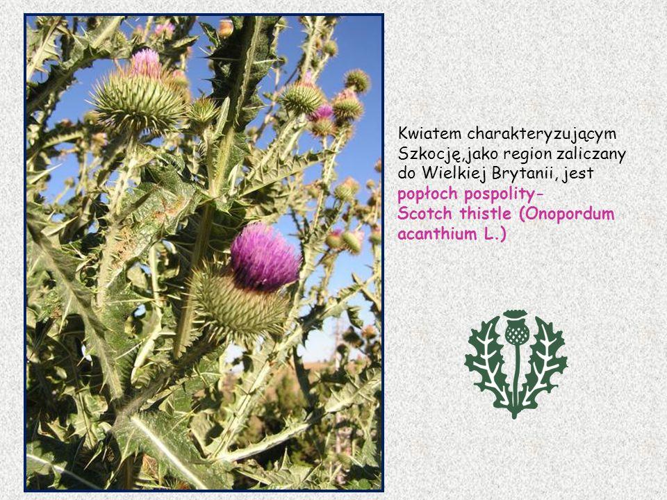 Kwiatem charakteryzującym Szkocję,jako region zaliczany do Wielkiej Brytanii, jest popłoch pospolity-