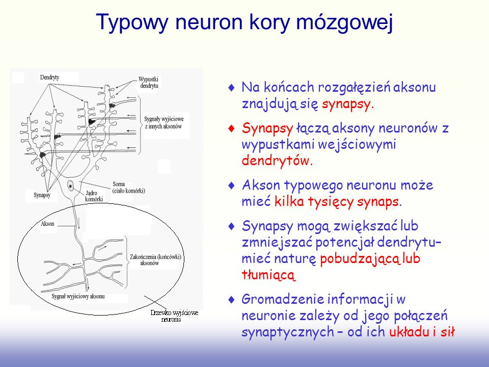 Typowy neuron kory mózgowej