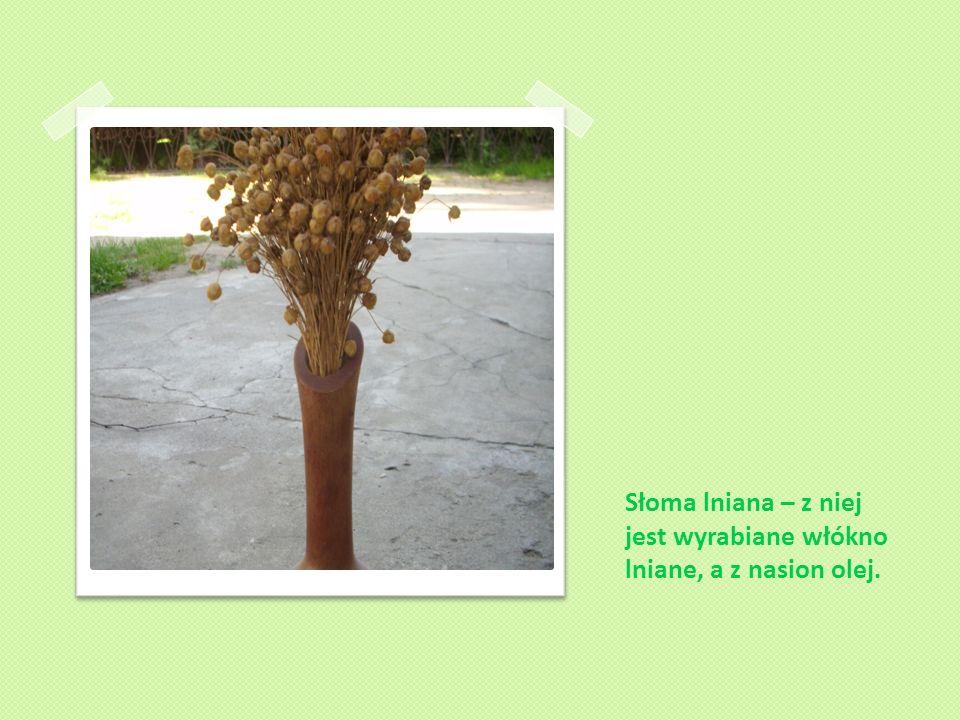 Słoma lniana – z niej jest wyrabiane włókno lniane, a z nasion olej.