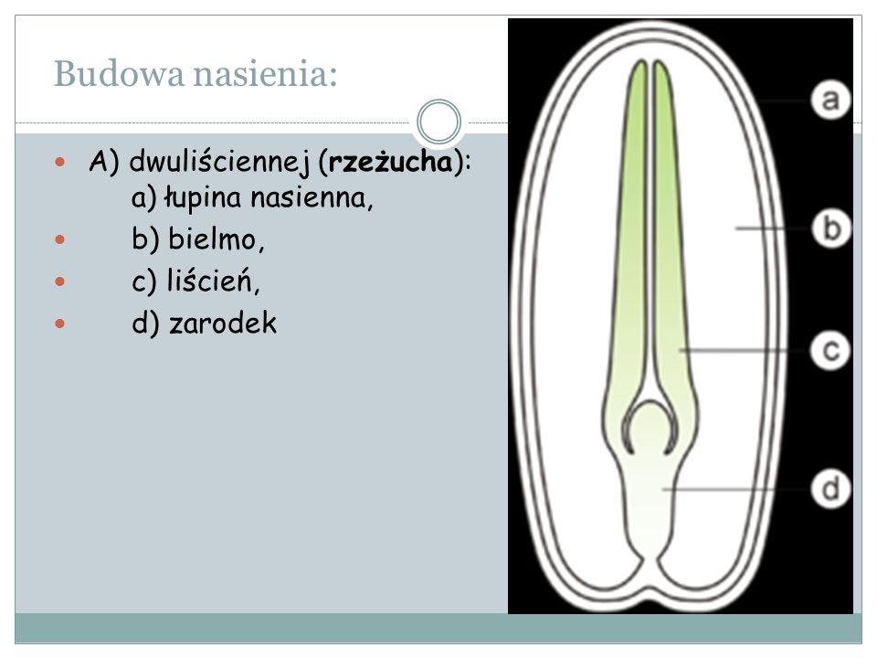 Budowa nasienia: A) dwuliściennej (rzeżucha): a) łupina nasienna,