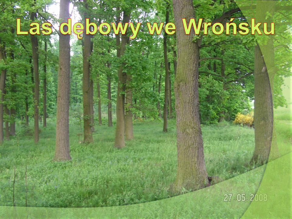 Las dębowy we Wrońsku