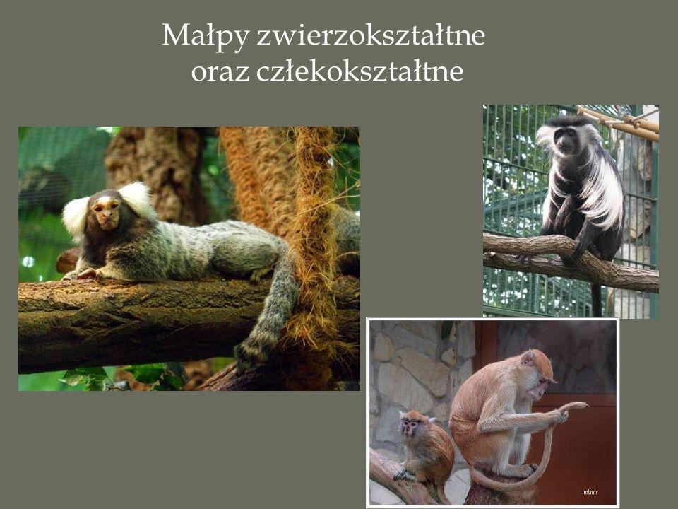 Małpy zwierzokształtne oraz człekokształtne