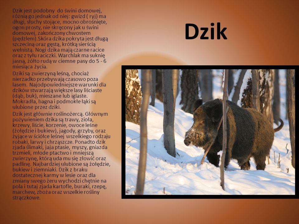 Dzik jest podobny do świni domowej, różnią go jednak od niej: gwizd ( ryj) ma długi, słuchy stojące, mocno obrośnięte, ogon prosty, nie skręcony jak u świni domowej, zakończony chwostem (pędzlem).Skóra dzika pokryta jest długą szczeciną oraz gęstą, krótką sierścią wełnistą. Nogi dzika mają czarne racice oraz z tyłu raciczki. Warchlak ma suknię jasną, żółto rudą w ciemne pasy do 5 - 6 miesiąca życia.