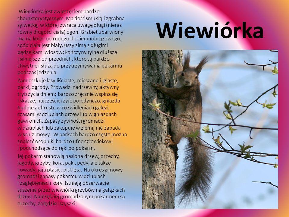 Wiewiórka jest zwierzęciem bardzo charakterystycznym