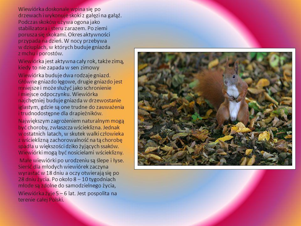 Wiewiórka doskonale wpina się po drzewach i wykonuje skoki z gałęzi na gałąź. Podczas skoków używa ogona jako stabilizatora i steru zarazem. Po ziemi porusza się skokami. Okres aktywności przypada na dzień. W nocy przebywa w dziuplach, w których buduje gniazda z mchu i porostów.