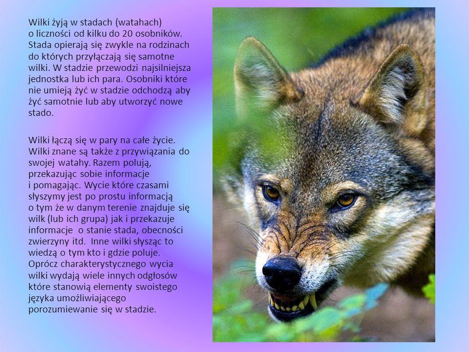 Wilki żyją w stadach (watahach) o liczności od kilku do 20 osobników