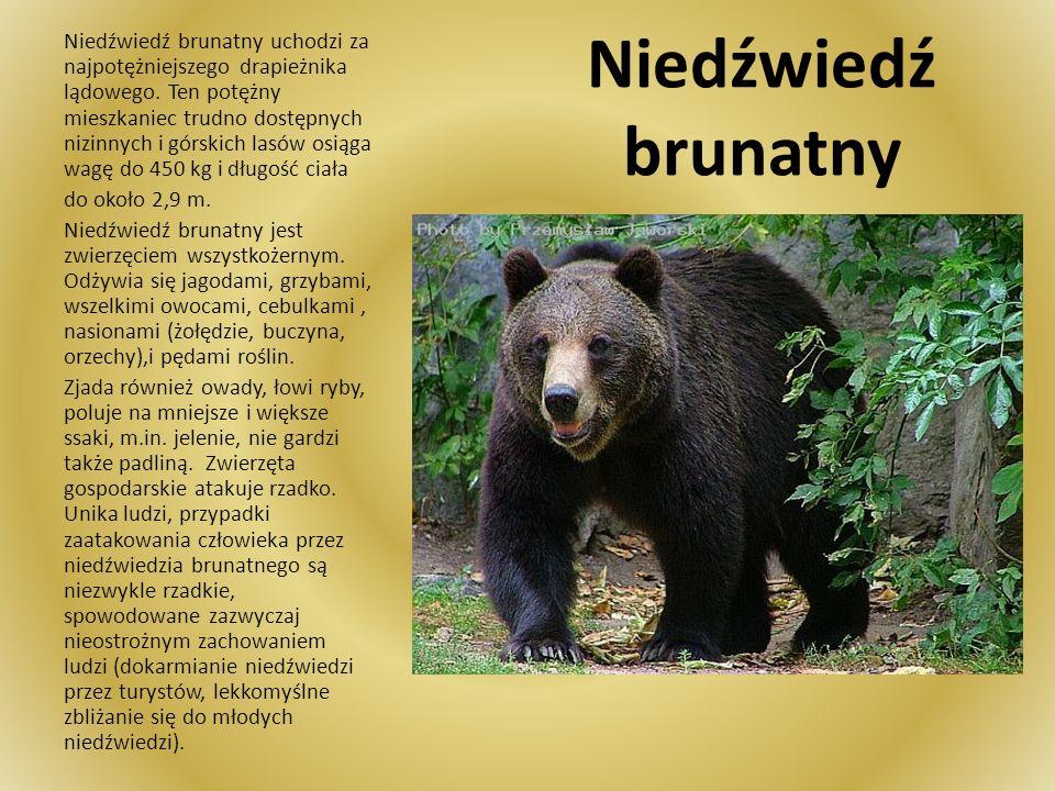 Niedźwiedź brunatny uchodzi za najpotężniejszego drapieżnika lądowego