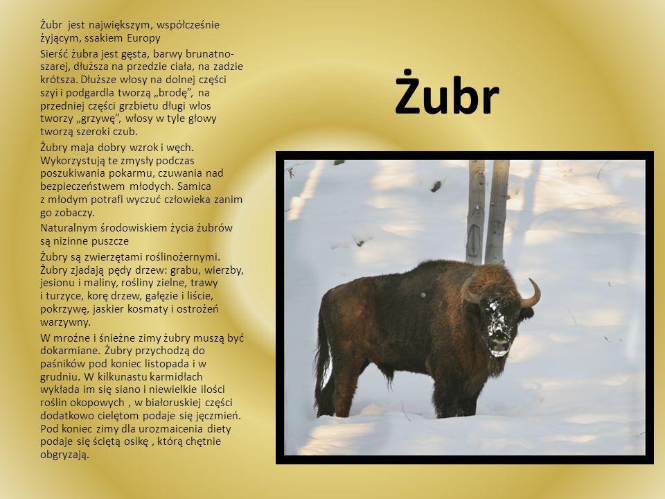 Żubr Żubr jest największym, współcześnie żyjącym, ssakiem Europy