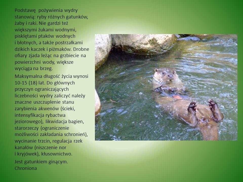 Podstawę pożywienia wydry stanowią: ryby różnych gatunków, żaby i raki