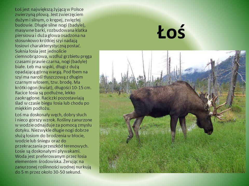 Łoś jest największą żyjącą w Polsce zwierzyną płową