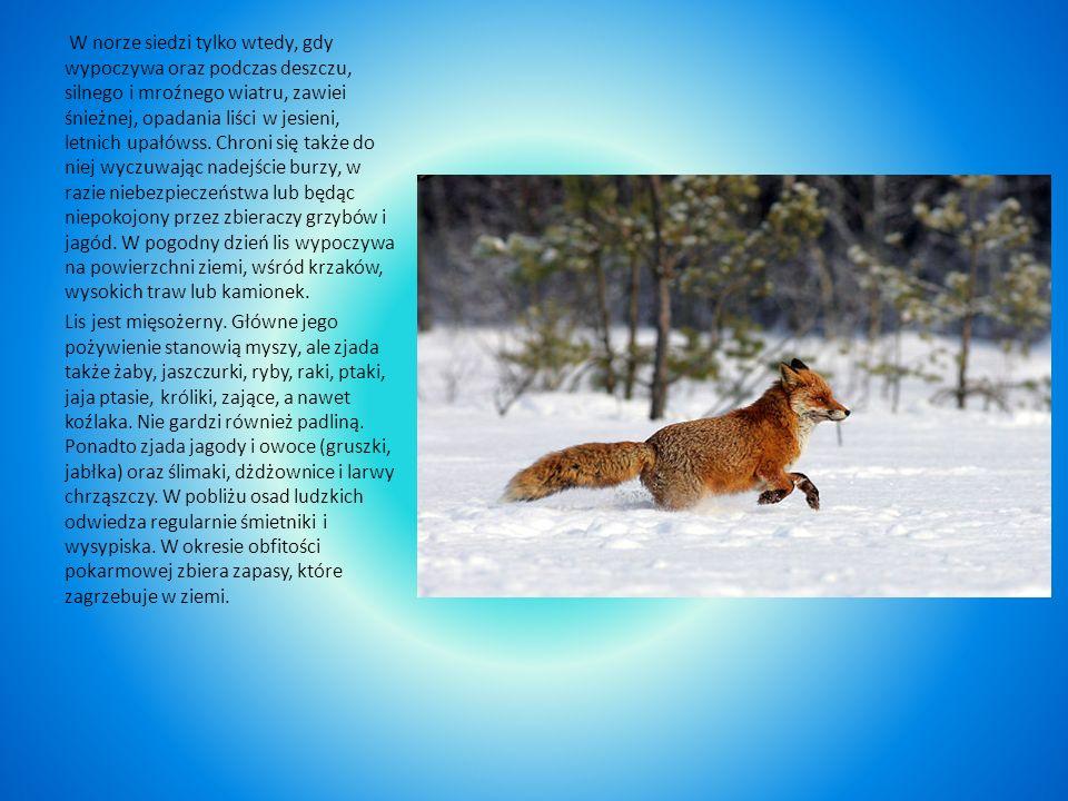 W norze siedzi tylko wtedy, gdy wypoczywa oraz podczas deszczu, silnego i mroźnego wiatru, zawiei śnieżnej, opadania liści w jesieni, letnich upałówss. Chroni się także do niej wyczuwając nadejście burzy, w razie niebezpieczeństwa lub będąc niepokojony przez zbieraczy grzybów i jagód. W pogodny dzień lis wypoczywa na powierzchni ziemi, wśród krzaków, wysokich traw lub kamionek.