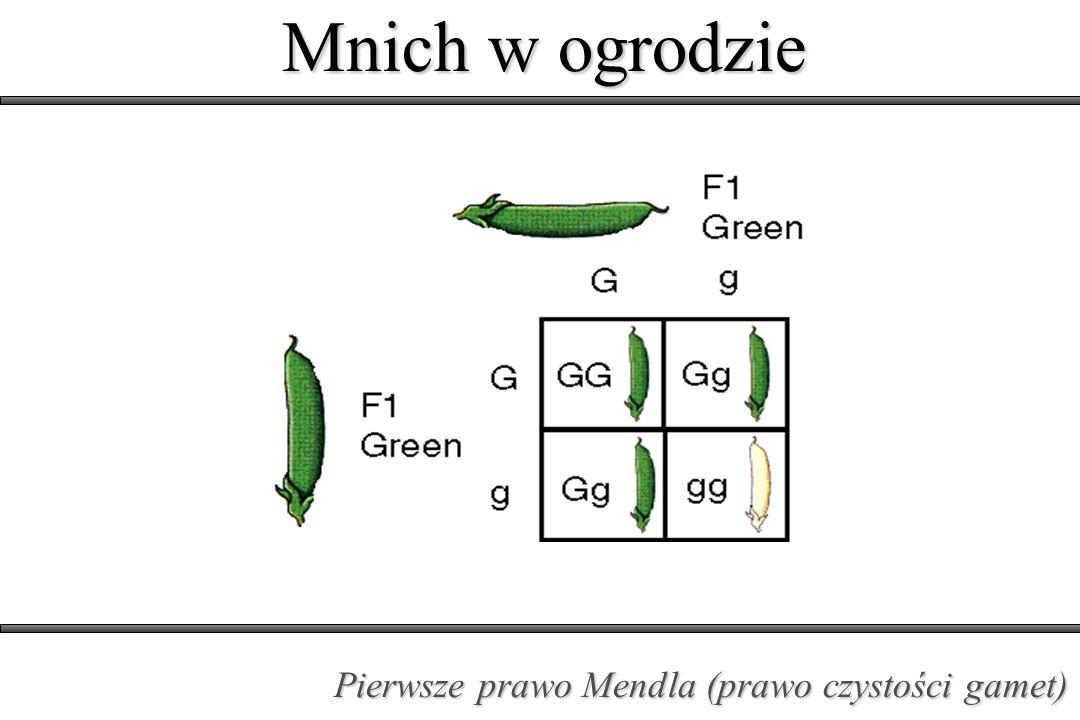 Mnich w ogrodzie Pierwsze prawo Mendla (prawo czystości gamet)