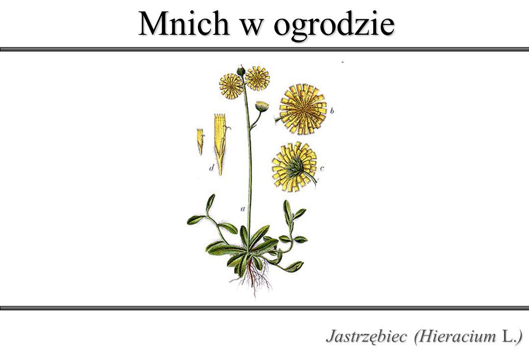 Mnich w ogrodzie Jastrzębiec (Hieracium L.)