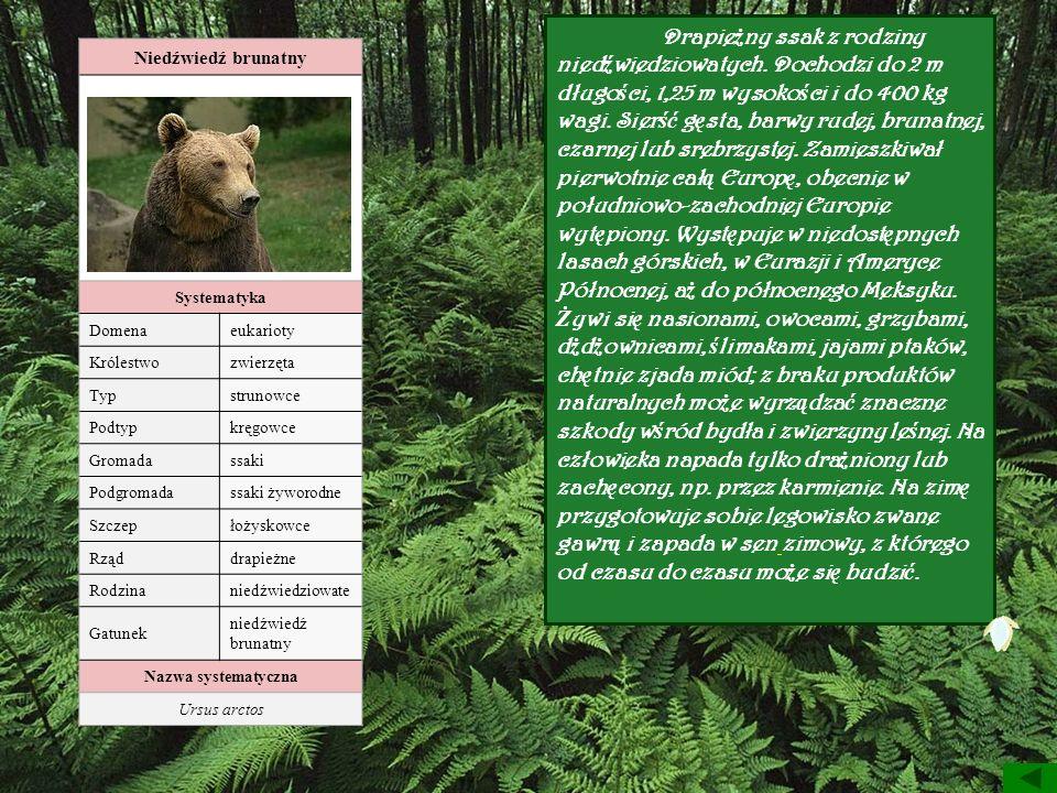 Drapieżny ssak z rodziny niedźwiedziowatych