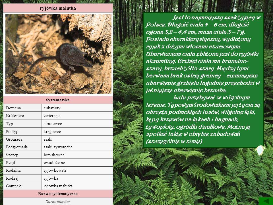 ryjówka malutka Systematyka. Domena. eukarioty. Królestwo. zwierzęta. Typ. strunowce. Podtyp.
