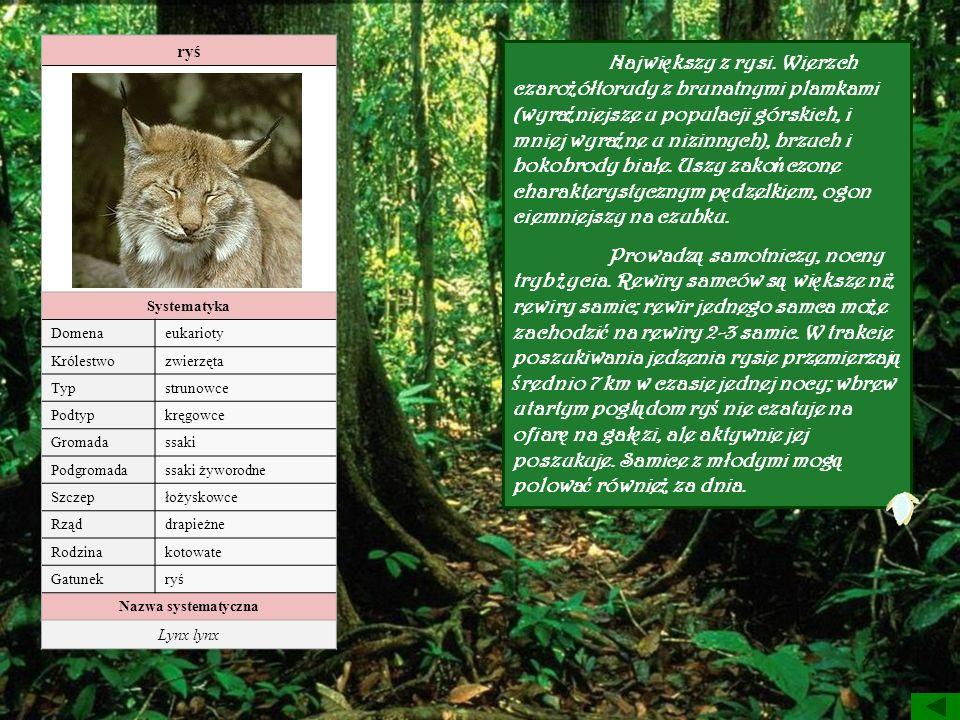 ryś Systematyka. Domena. eukarioty. Królestwo. zwierzęta. Typ. strunowce. Podtyp. kręgowce.