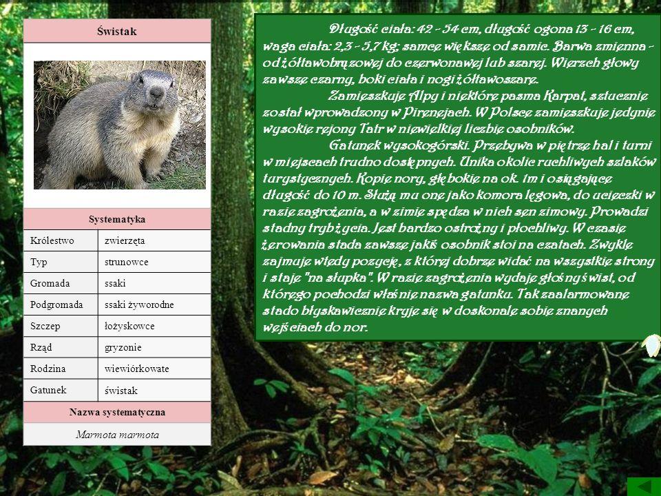 Długość ciała: 42 - 54 cm, długość ogona 13 - 16 cm, waga ciała: 2,3 - 5,7 kg; samce większe od samic. Barwa zmienna - od żółtawobrązowej do czerwonawej lub szarej. Wierzch głowy zawsze czarny, boki ciała i nogi żółtawoszare.
