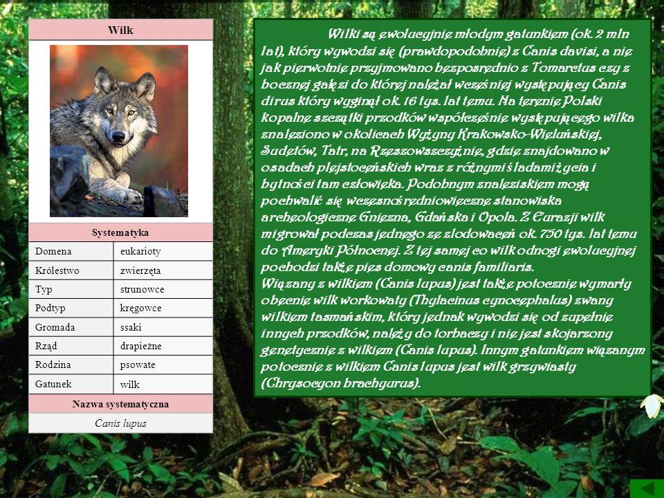Wilk Systematyka. Domena. eukarioty. Królestwo. zwierzęta. Typ. strunowce. Podtyp. kręgowce.