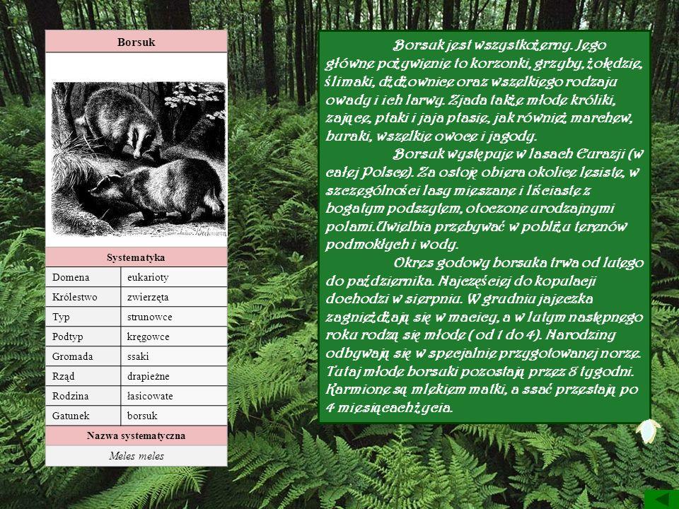 Borsuk Systematyka. Domena. eukarioty. Królestwo. zwierzęta. Typ. strunowce. Podtyp. kręgowce.