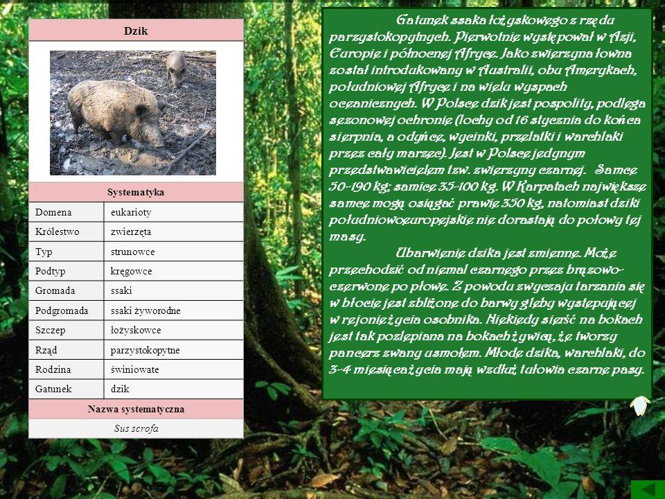 Gatunek ssaka łożyskowego z rzędu parzystokopytnych