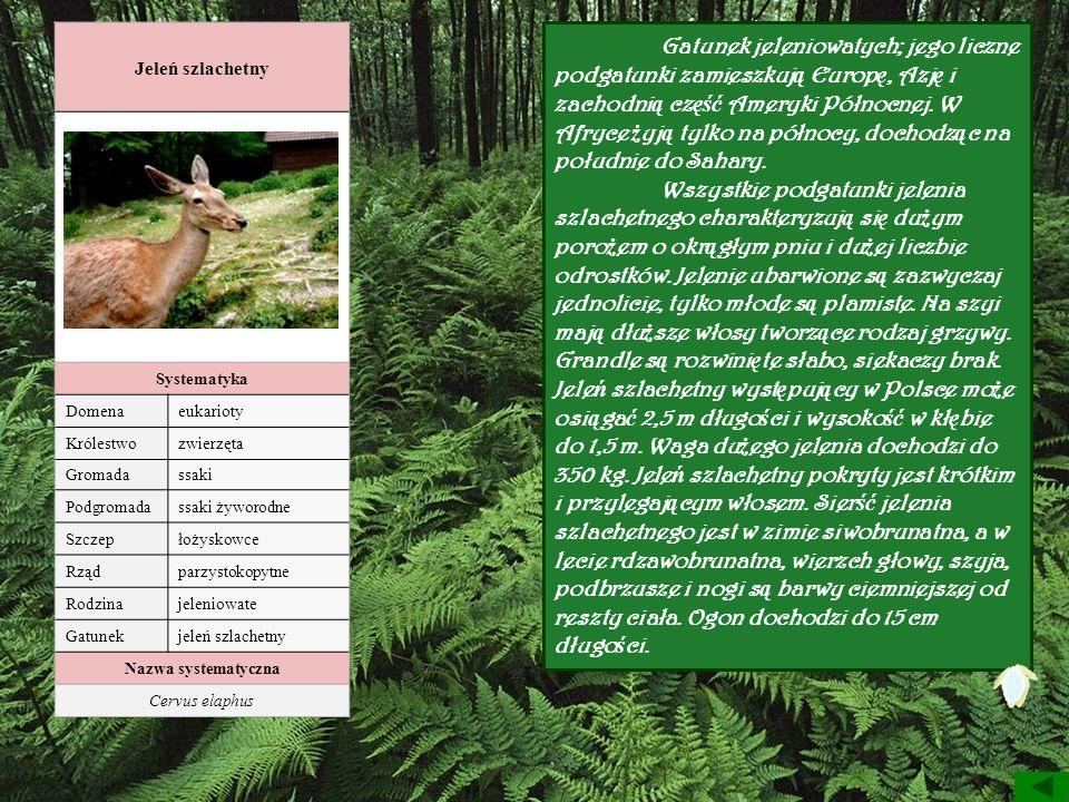 Jeleń szlachetny Systematyka. Domena. eukarioty. Królestwo. zwierzęta. Gromada. ssaki. Podgromada.