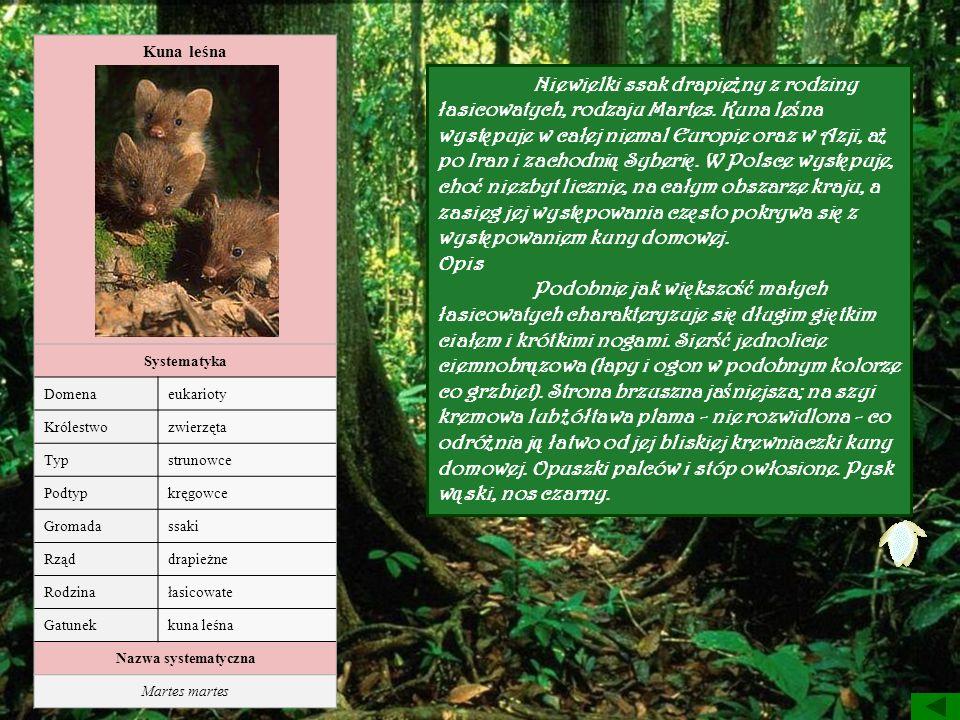 Kuna leśna Systematyka. Domena. eukarioty. Królestwo. zwierzęta. Typ. strunowce. Podtyp. kręgowce.