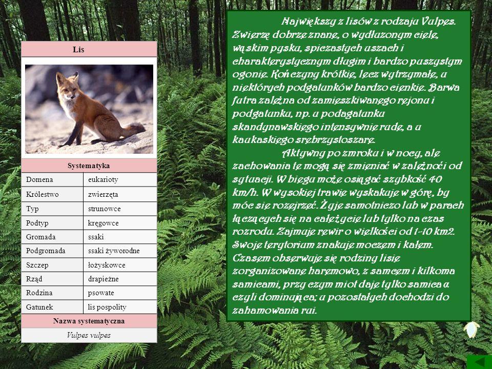 Największy z lisów z rodzaju Vulpes