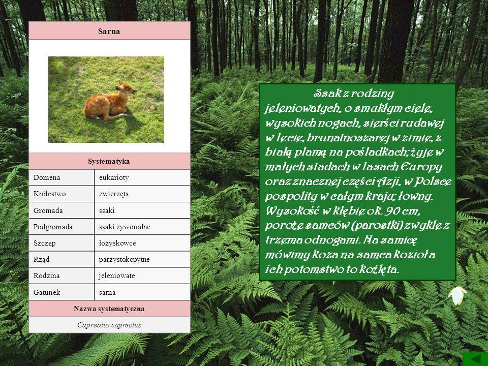 Sarna Systematyka. Domena. eukarioty. Królestwo. zwierzęta. Gromada. ssaki. Podgromada. ssaki żyworodne.