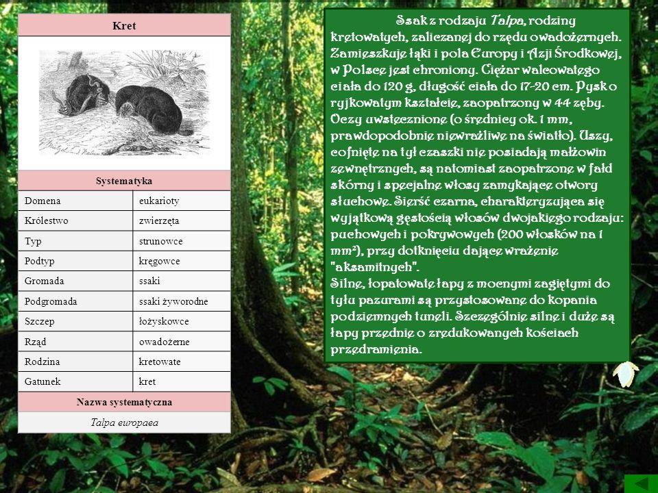 Ssak z rodzaju Talpa, rodziny kretowatych, zaliczanej do rzędu owadożernych.
