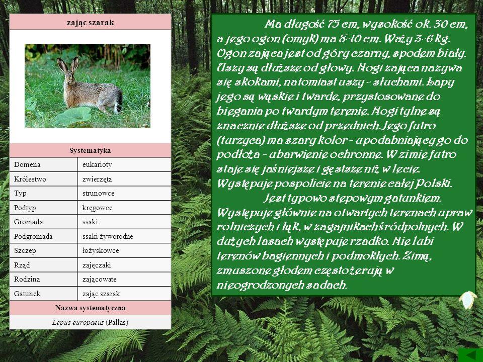 Lepus europaeus (Pallas)