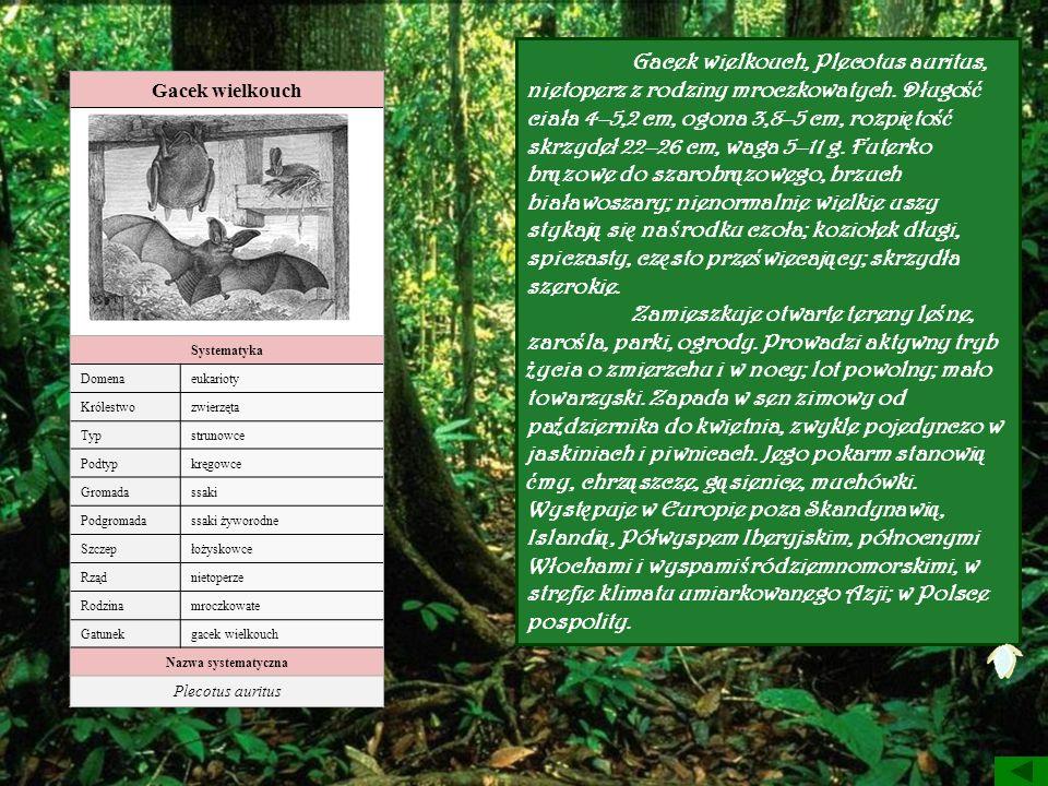 Gacek wielkouch, Plecotus auritus, nietoperz z rodziny mroczkowatych