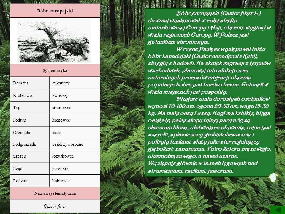 Bóbr europejski Bobry przy pracy. Systematyka. Domena. eukarioty. Królestwo. zwierzęta. Typ. strunowce.