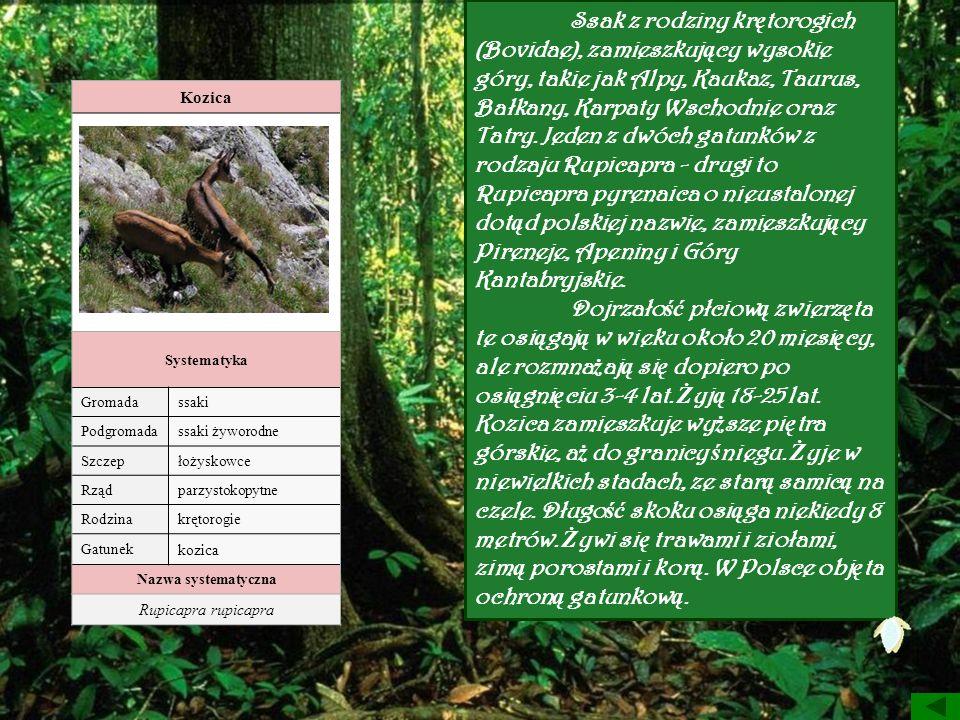 Ssak z rodziny krętorogich (Bovidae), zamieszkujący wysokie góry, takie jak Alpy, Kaukaz, Taurus, Bałkany, Karpaty Wschodnie oraz Tatry. Jeden z dwóch gatunków z rodzaju Rupicapra - drugi to Rupicapra pyrenaica o nieustalonej dotąd polskiej nazwie, zamieszkujący Pireneje, Apeniny i Góry Kantabryjskie. Dojrzałość płciową zwierzęta te osiągają w wieku około 20 miesięcy, ale rozmnażają się dopiero po osiągnięciu 3-4 lat. Żyją 18-25 lat.