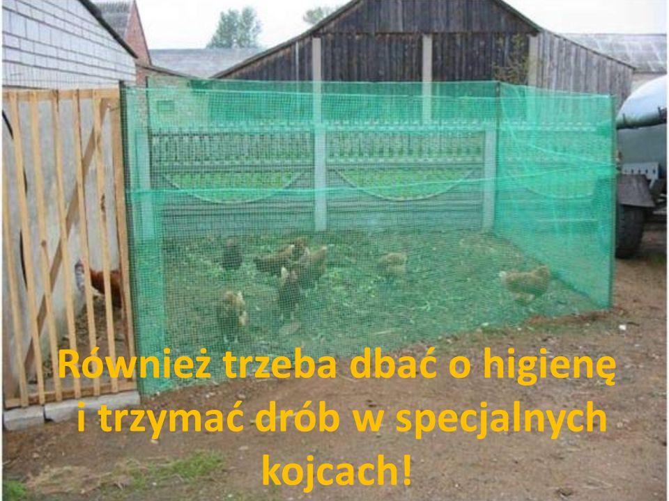 Również trzeba dbać o higienę i trzymać drób w specjalnych kojcach!
