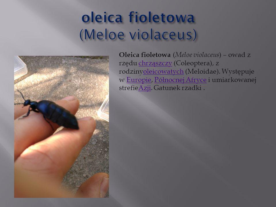oleica fioletowa (Meloe violaceus)