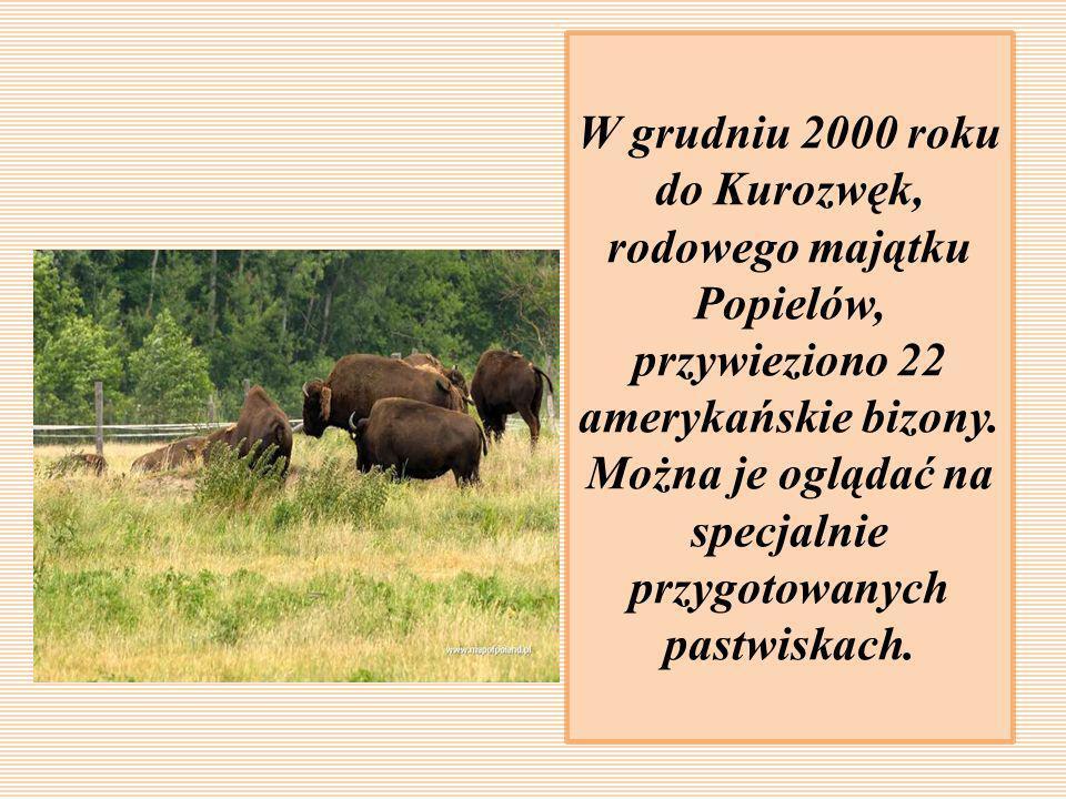 W grudniu 2000 roku do Kurozwęk, rodowego majątku Popielów, przywieziono 22 amerykańskie bizony.