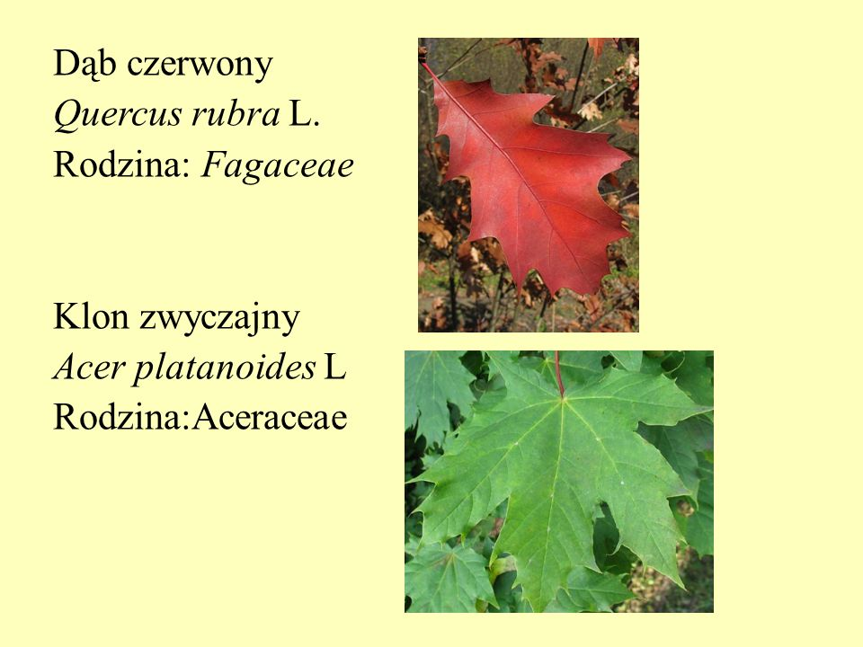 Dąb czerwony Quercus rubra L