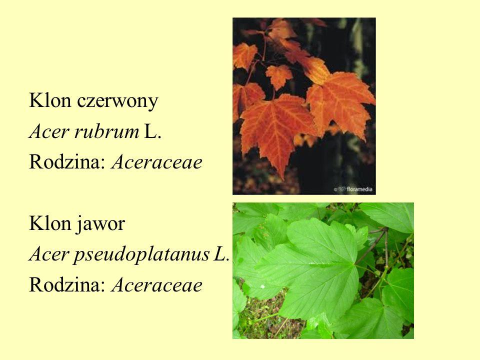 Klon czerwony Acer rubrum L
