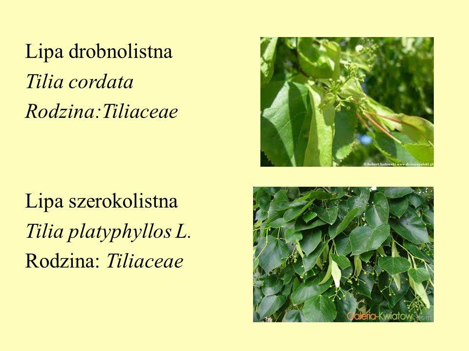 Lipa drobnolistna Tilia cordata Rodzina:Tiliaceae Lipa szerokolistna Tilia platyphyllos L.