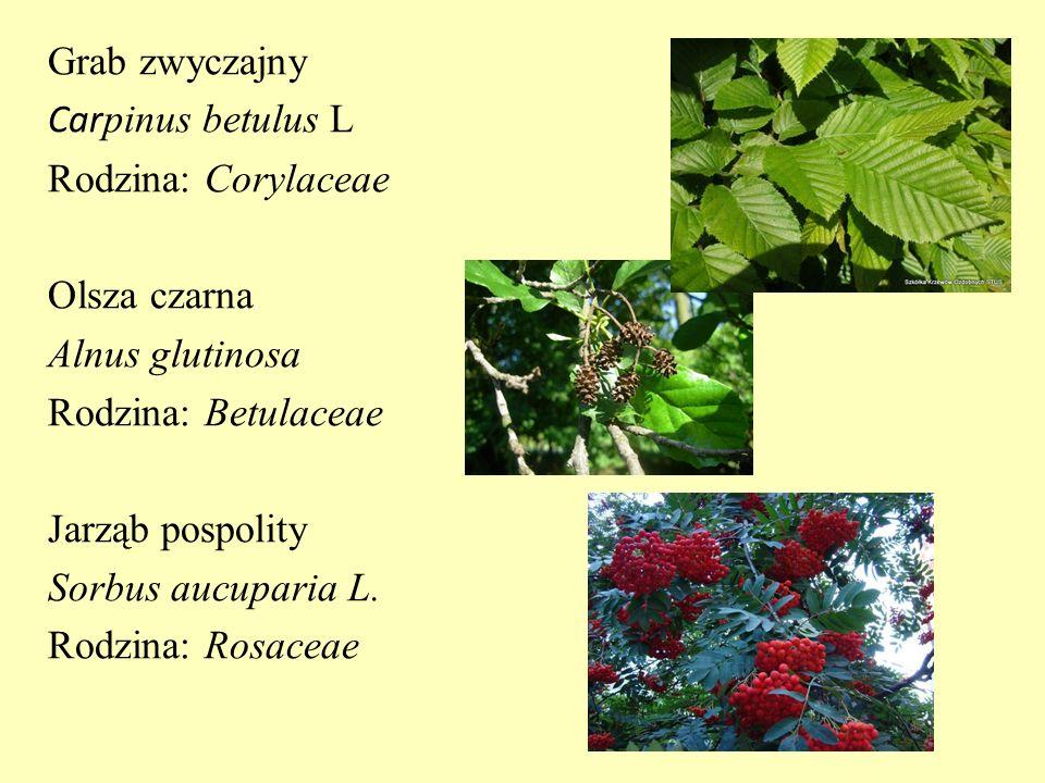 Grab zwyczajny Carpinus betulus L Rodzina: Corylaceae Olsza czarna Alnus glutinosa Rodzina: Betulaceae Jarząb pospolity Sorbus aucuparia L.