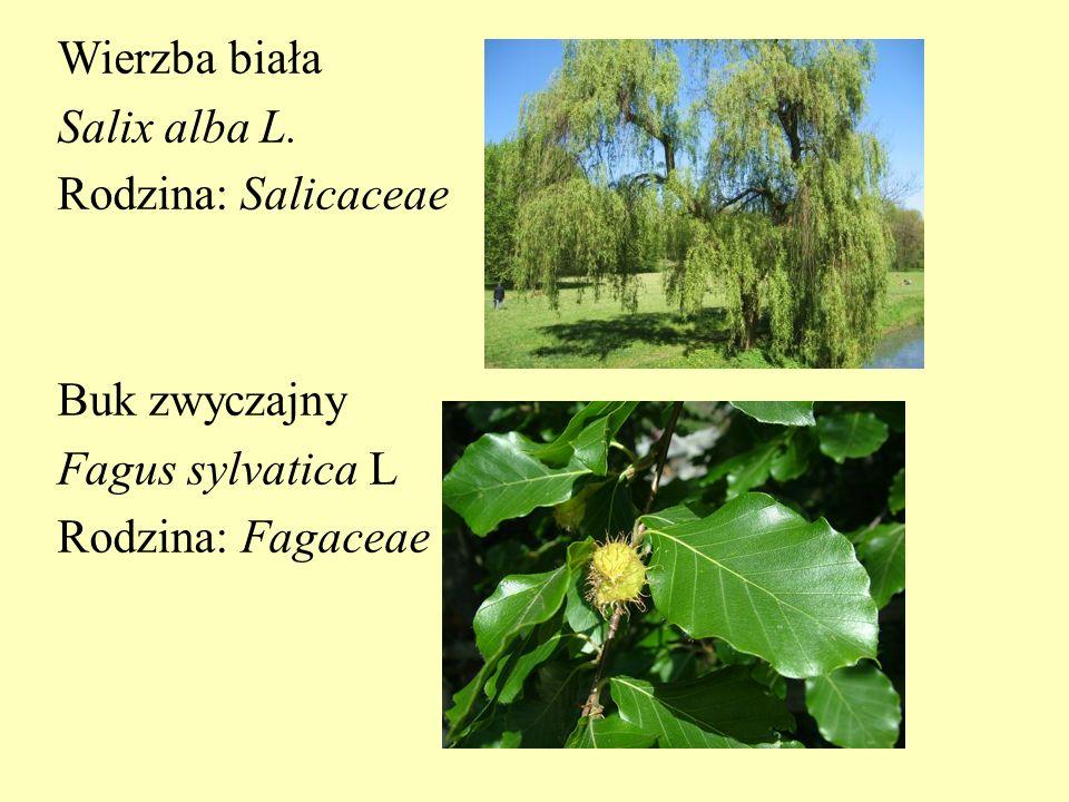 Wierzba biała Salix alba L