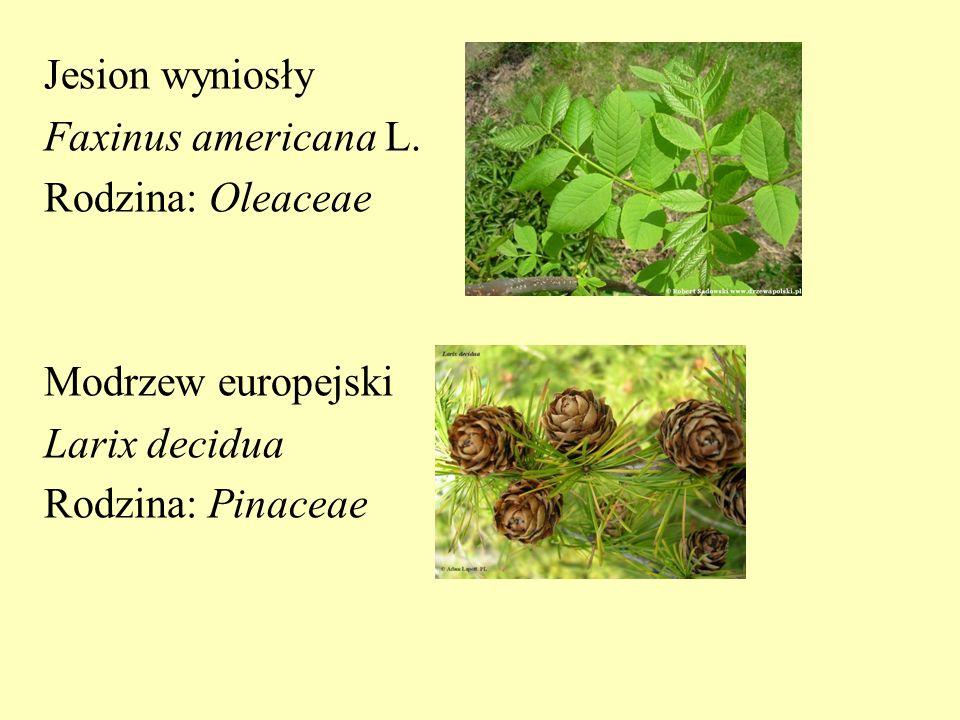 Jesion wyniosły Faxinus americana L